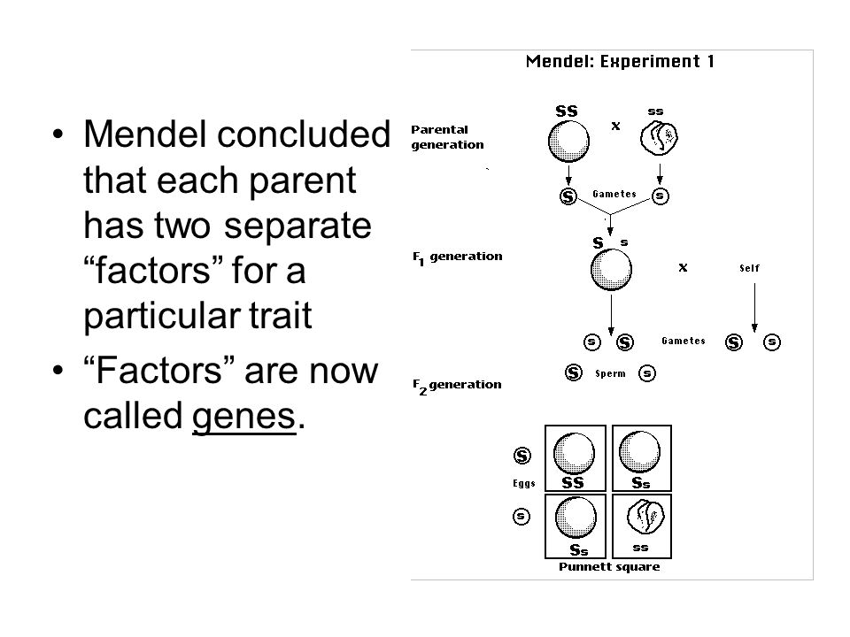 Mendel concluded that each parent has two separate factors for a particular trait