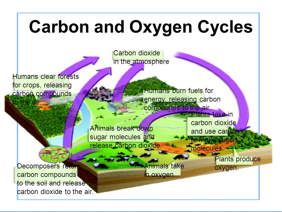 Oxygen Cycle In Nature Cycles of Matter Chapt...