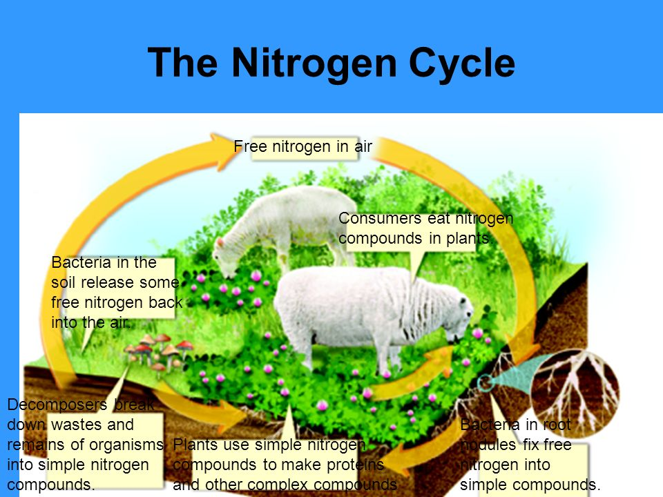 The Nitrogen Cycle Free nitrogen in air Consumers eat nitrogen