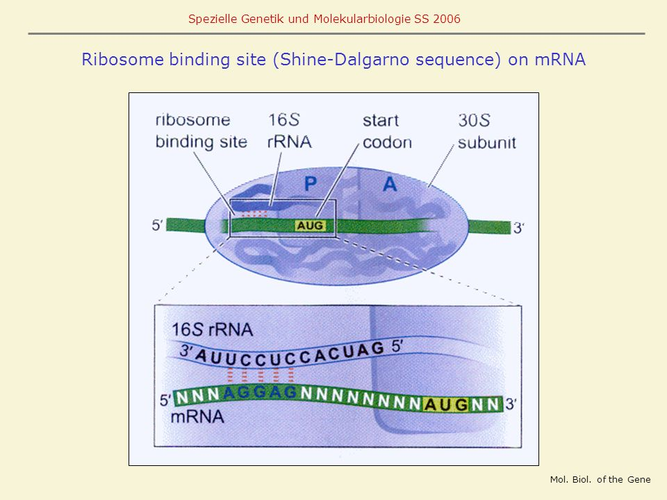 Ribosome binding site (Shine-Dalgarno sequence) on mRNA