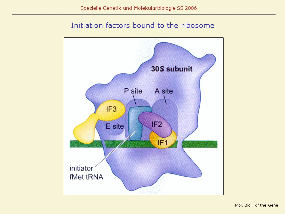 Initiation factors bound to the ribosome