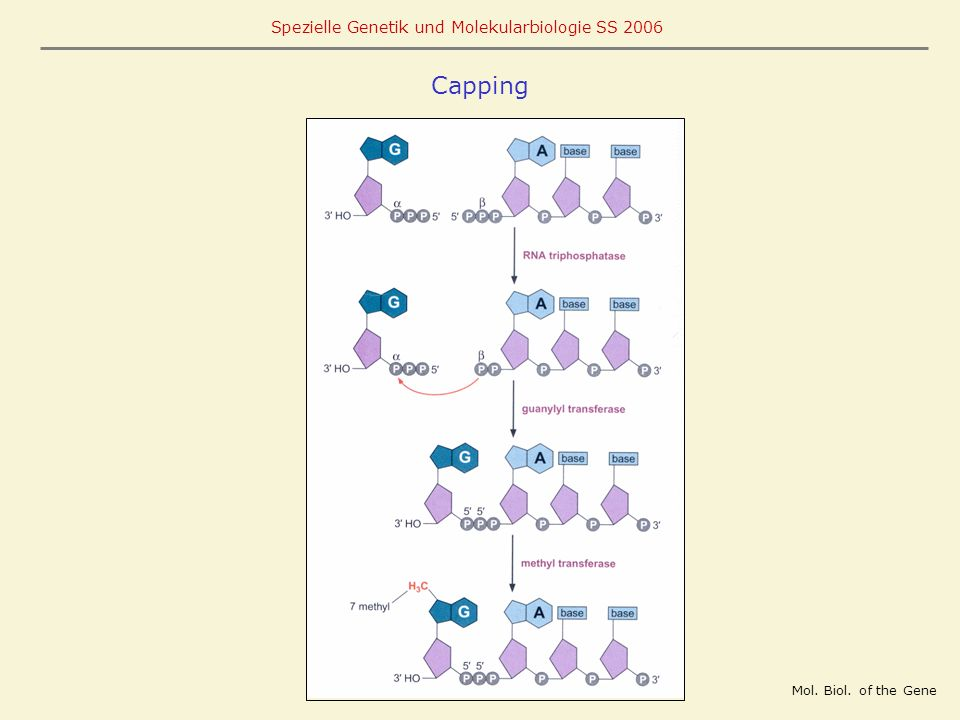 Capping Mol. Biol. of the Gene