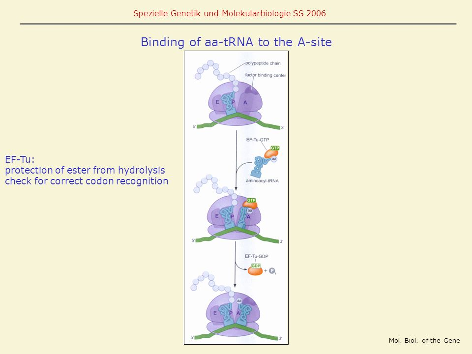 Binding of aa-tRNA to the A-site