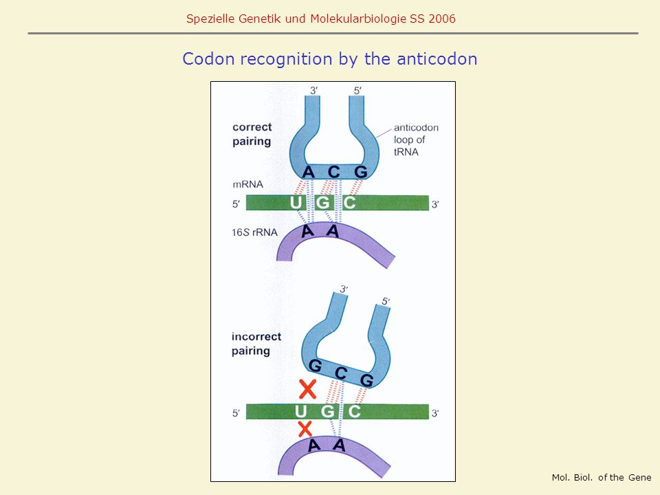 Codon recognition by the anticodon
