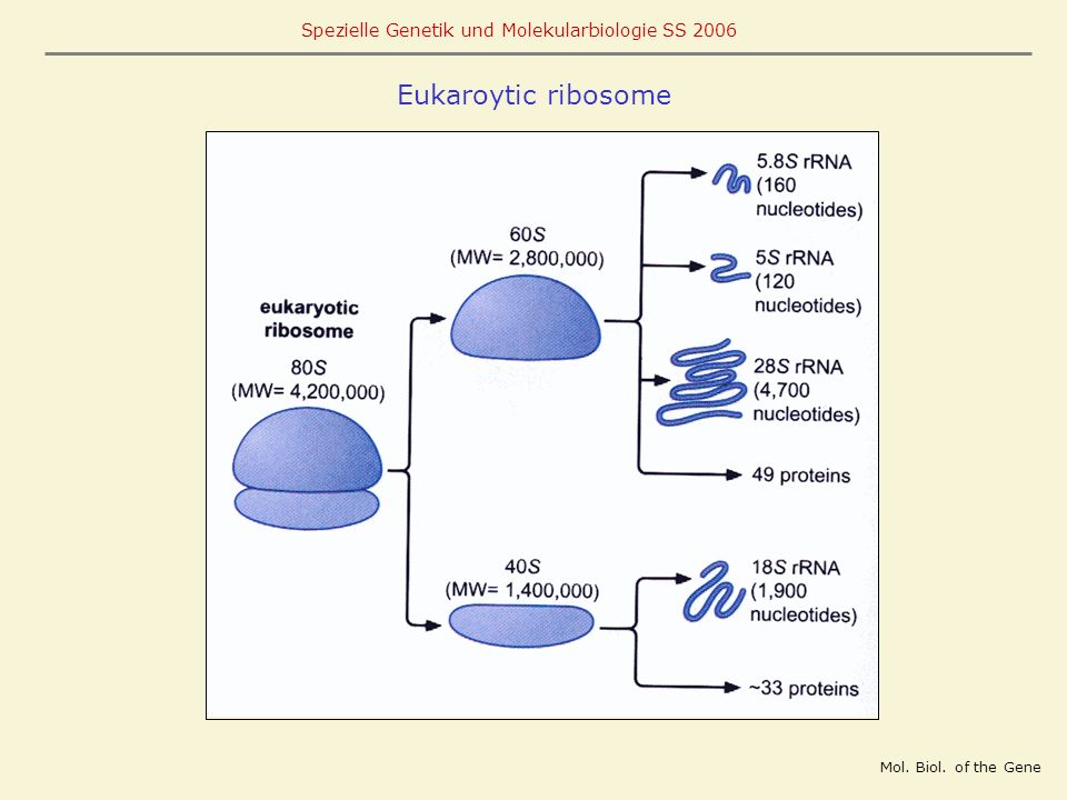 Eukaroytic ribosome Mol. Biol. of the Gene