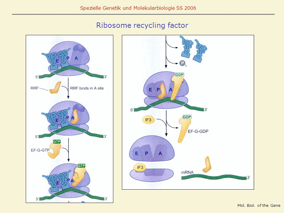 Ribosome recycling factor