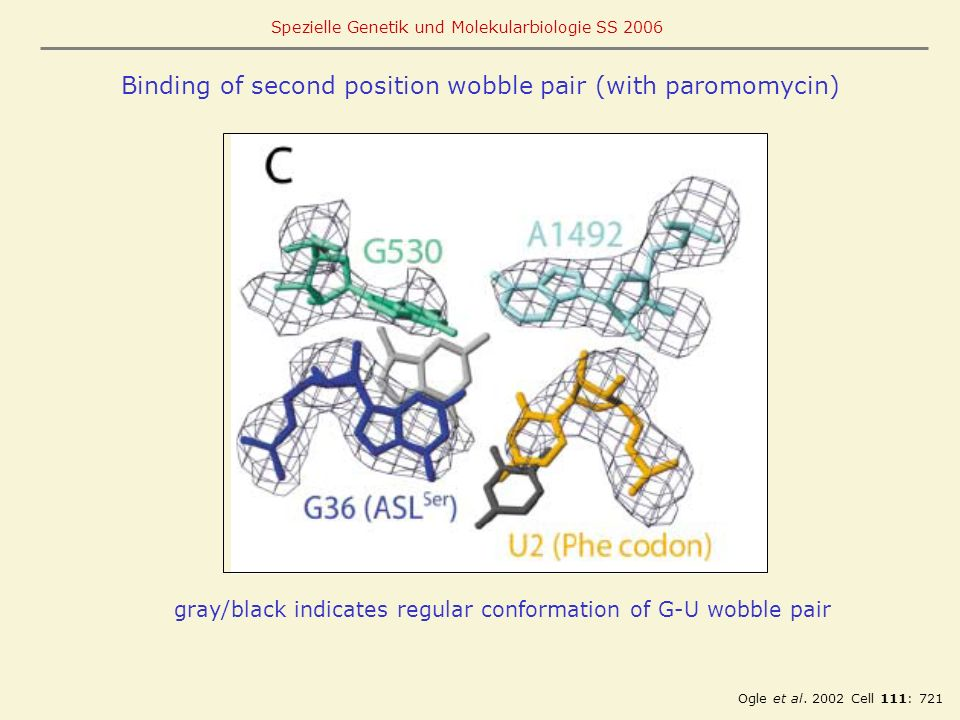 Binding of second position wobble pair (with paromomycin)