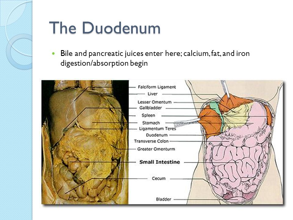 The Duodenum Bile and pancreatic juices enter here; calcium, fat, and iron digestion/absorption begin.