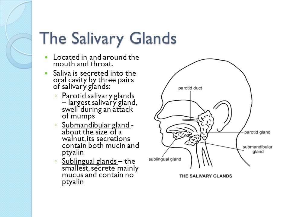 The Salivary Glands Located in and around the mouth and throat.