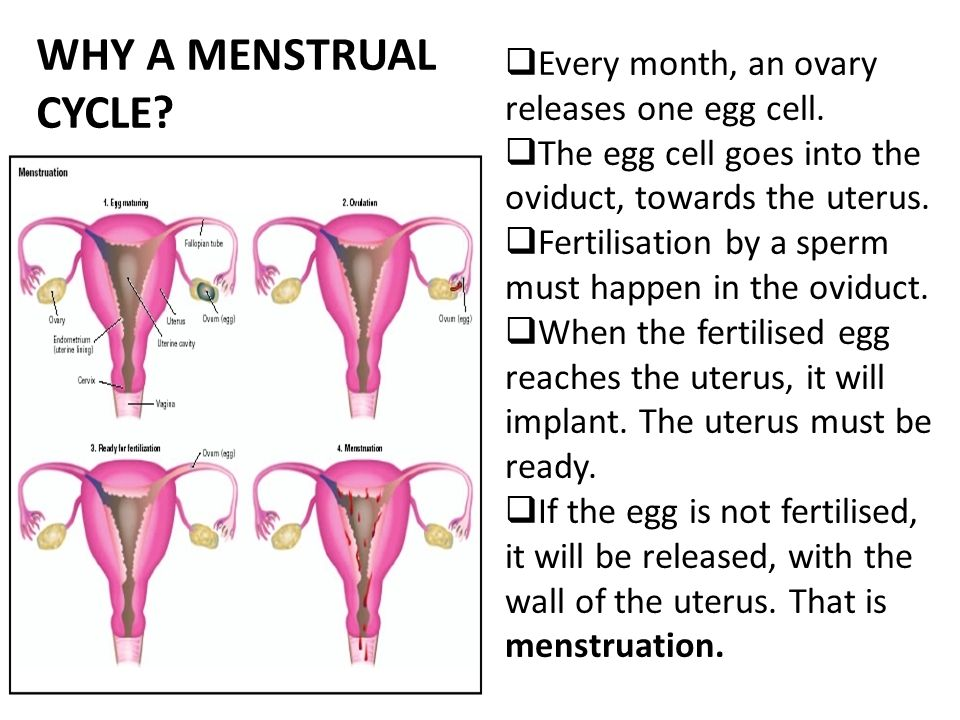 Only Primates Have A Menstrual Cycle