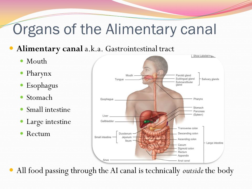 Alimentary tract anatomy