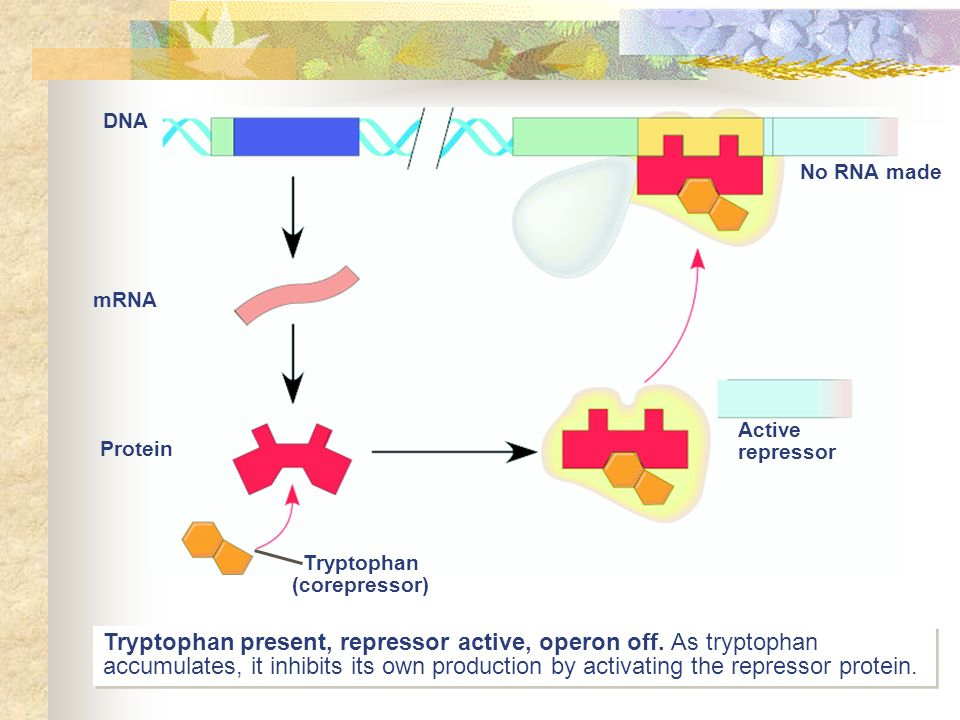 Honors biology ch 12 molecular genetics ppt video online download 64 tryptophan present malvernweather Gallery