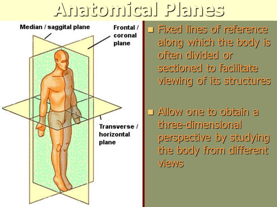 Anatomical Planes Fixed lines of reference along which the body is often divided or sectioned to facilitate viewing of its structures.