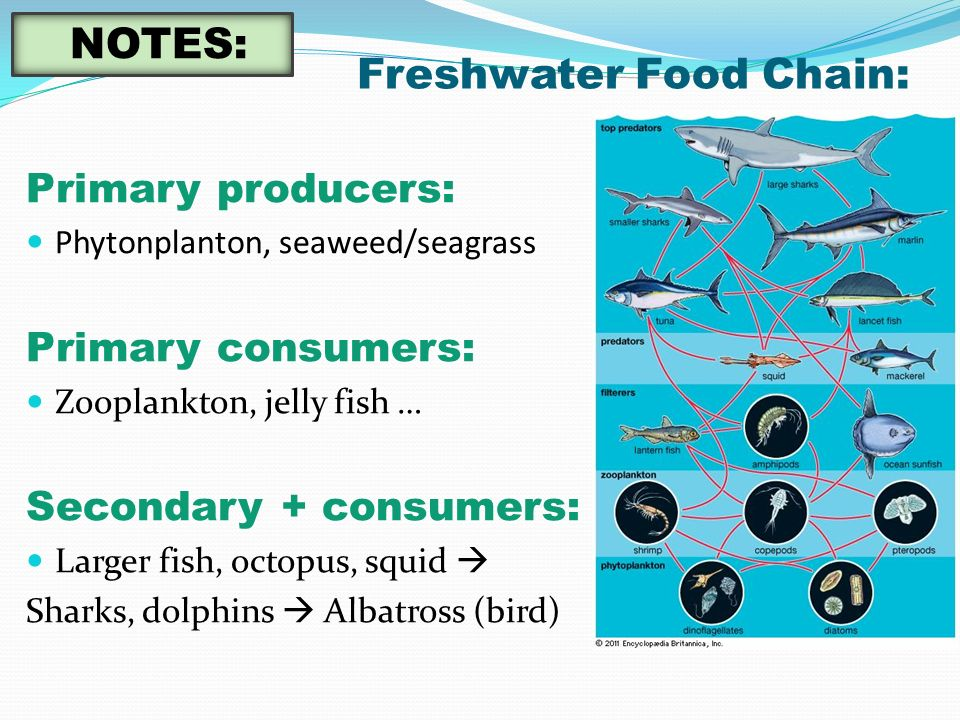 Freshwater Food Chain