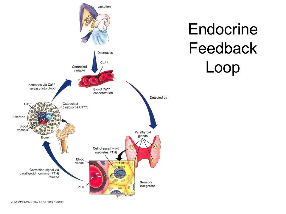 endocrine system chapter ppt video online download