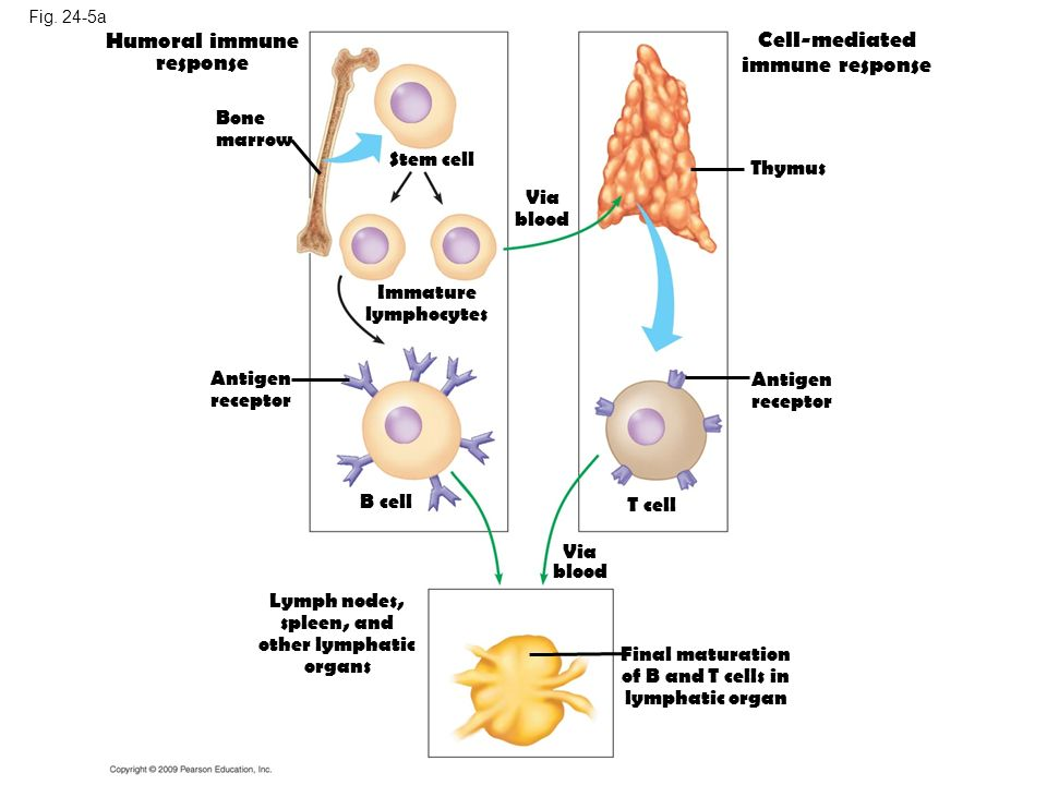 Humoral immune response Cell-mediated immune response