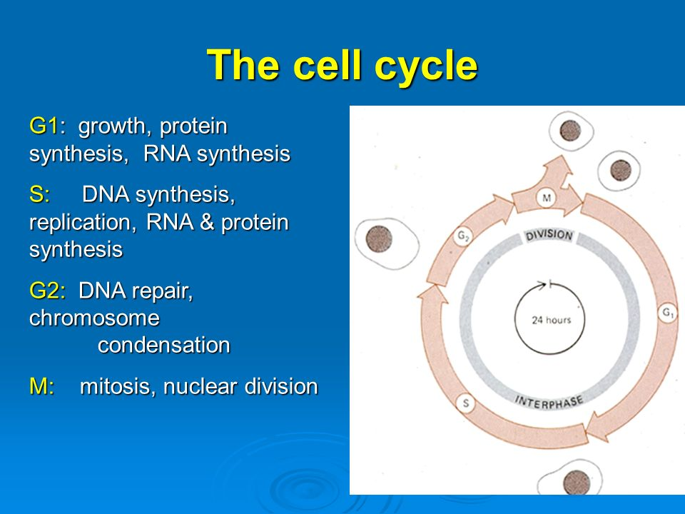 The cell cycle G1: growth, protein synthesis, RNA synthesis
