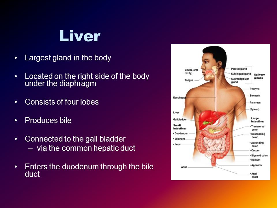 liver is the largest gland 1 j hepatol 2000 mar32(3):505-7 the liver: a large endocrine gland baruch y comment on j hepatol 2000 mar32(3):441-6 pmid: 10735622.