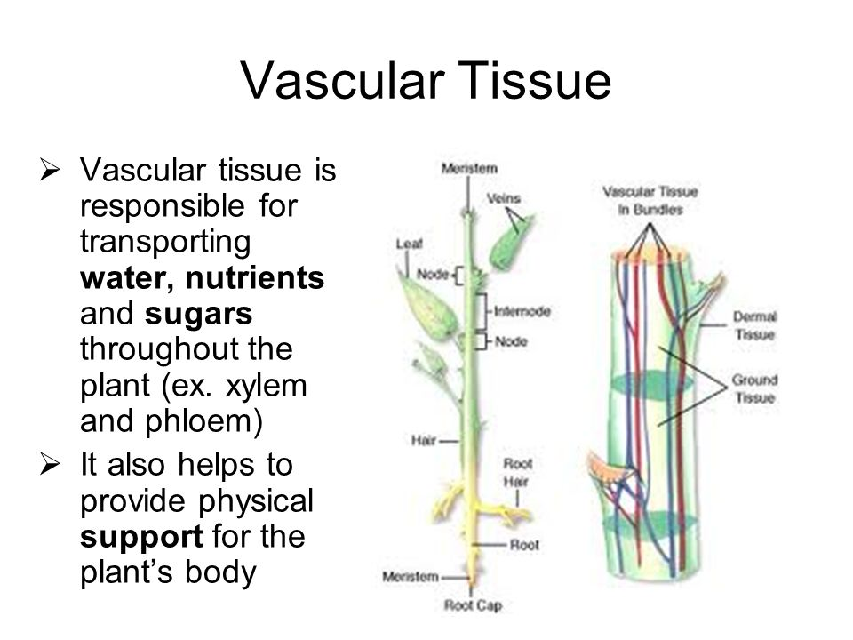 plant tissue diagram The plant body plant tissues and organ systems plants are made up of meristematic and permanent tissues and are supported by shoot and root organ systems.