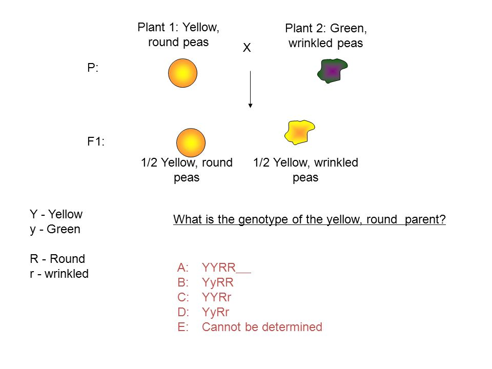 Plant 1: Yellow, round peas Plant 2: Green, wrinkled peas