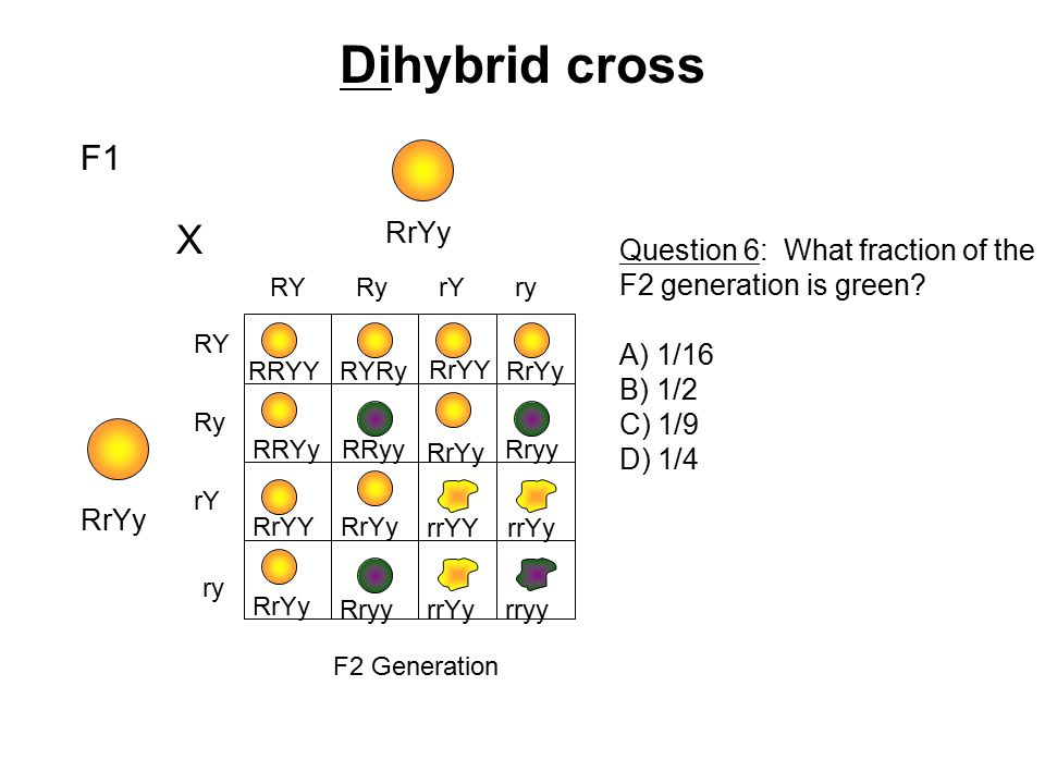 Dihybrid cross X F1 RrYy Question 6: What fraction of the