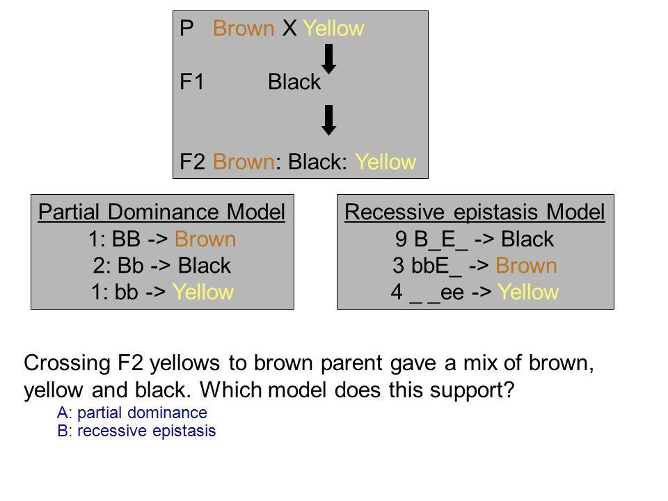 Partial Dominance Model 1: BB -> Brown 2: Bb -> Black