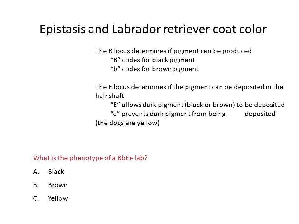 Epistasis and Labrador retriever coat color