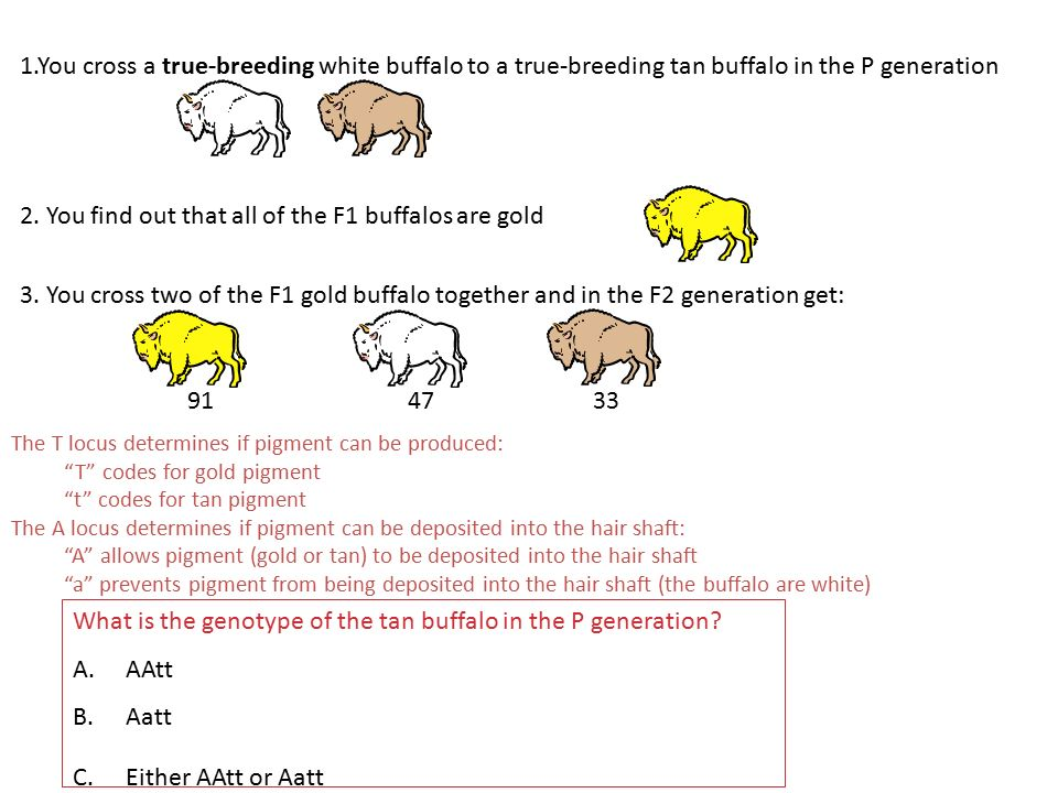 2. You find out that all of the F1 buffalos are gold
