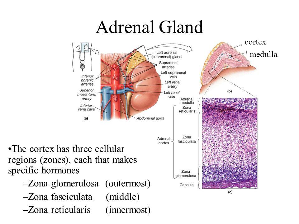 Chapter 18 Part 2 Thyroid Gland Parathyroid Gland Adrenal Gland