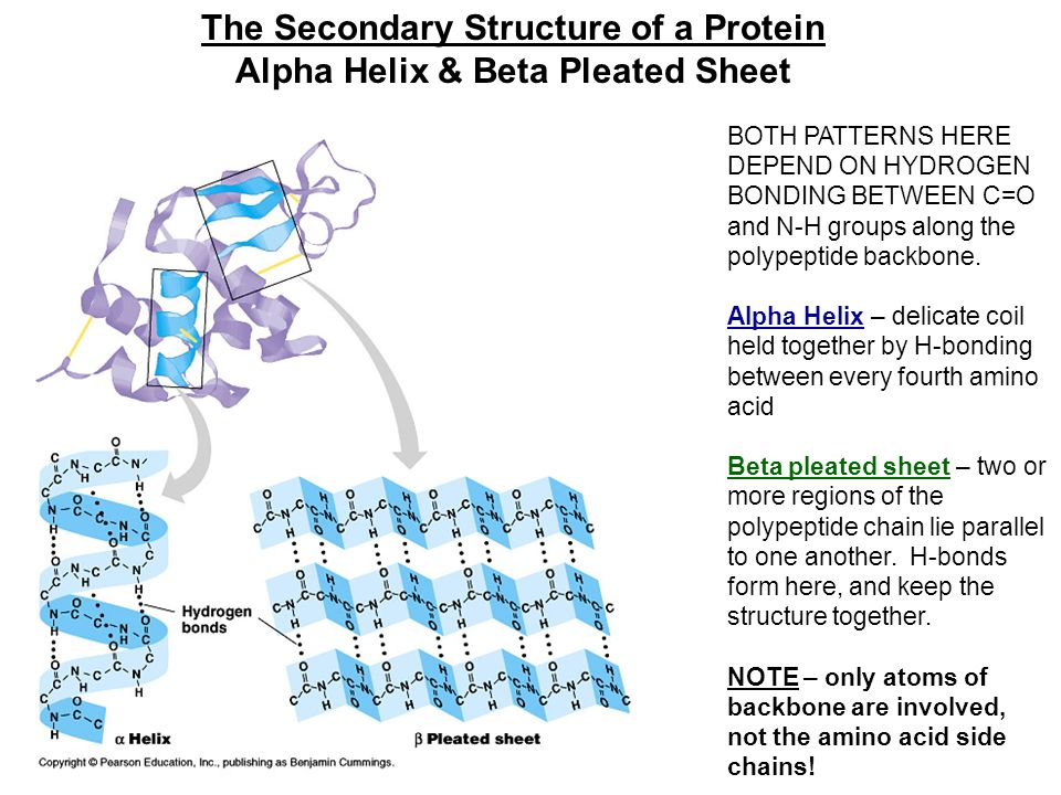 Alpha Helix And Beta Pleated Sheet The Chemistry of Life ...