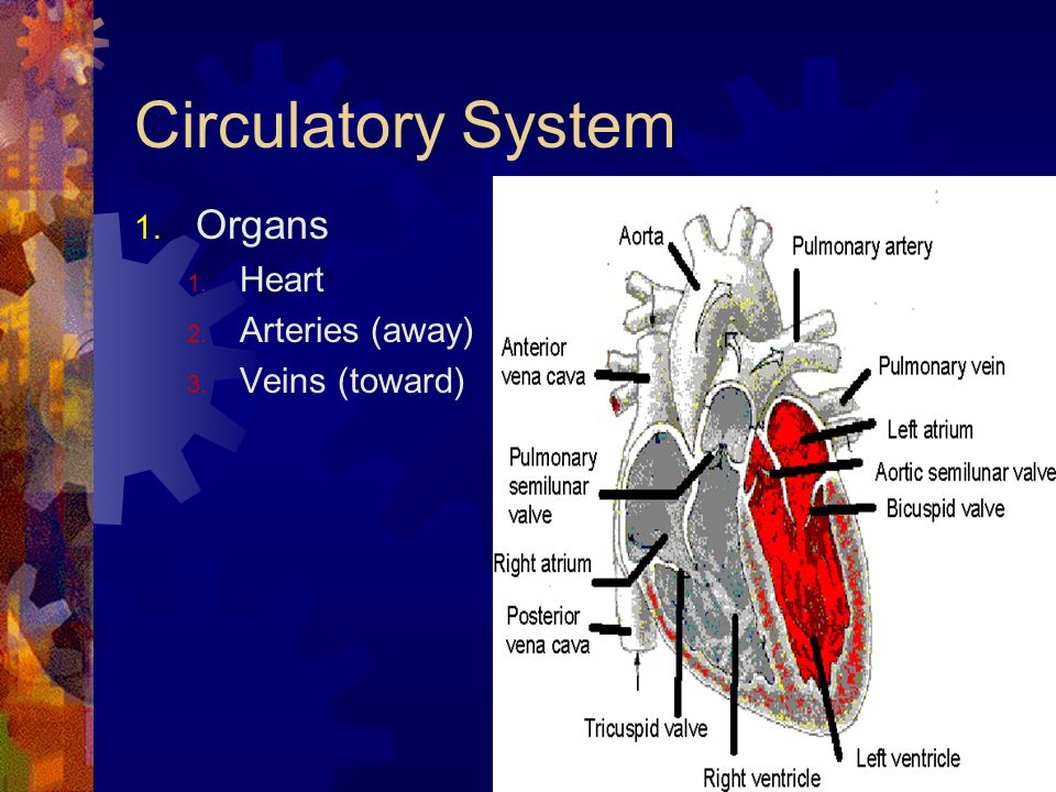 Circulatory System Organs Heart Arteries (away) Veins (toward)