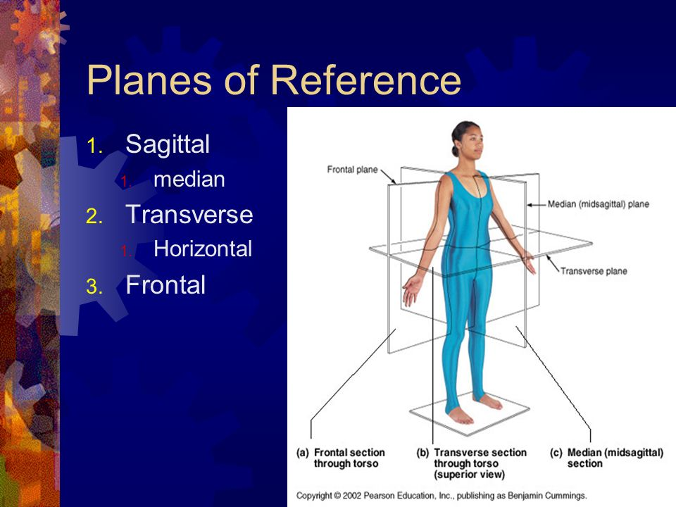 Planes of Reference Sagittal median Transverse Horizontal Frontal