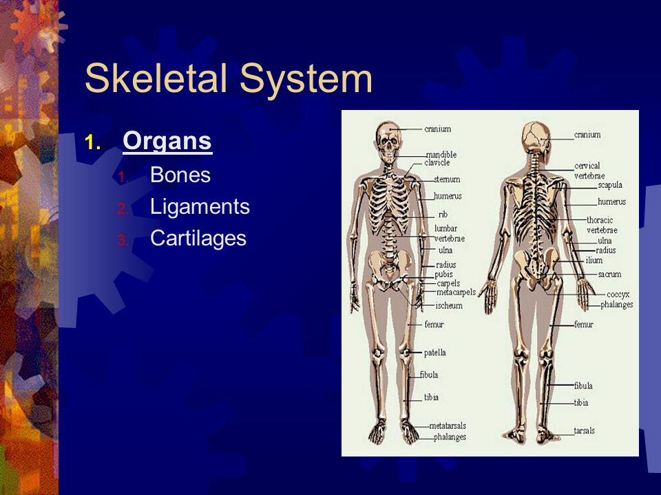 Skeletal System Organs Bones Ligaments Cartilages