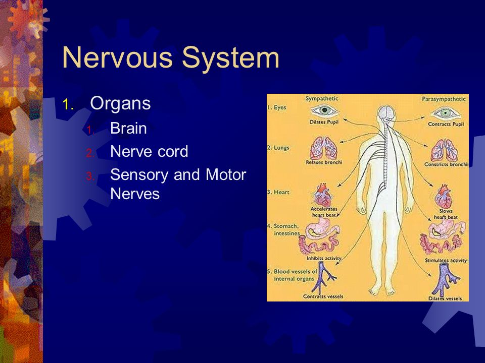 Nervous System Organs Brain Nerve cord Sensory and Motor Nerves
