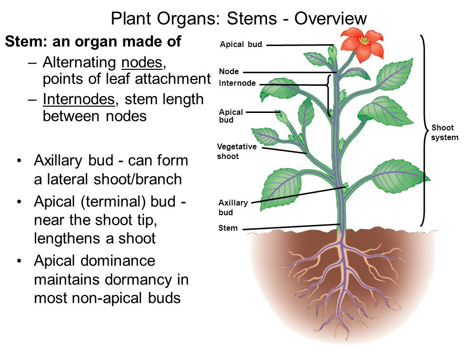 Lecture 9 outline ch 35 overview of plant systems ppt for What are internodes