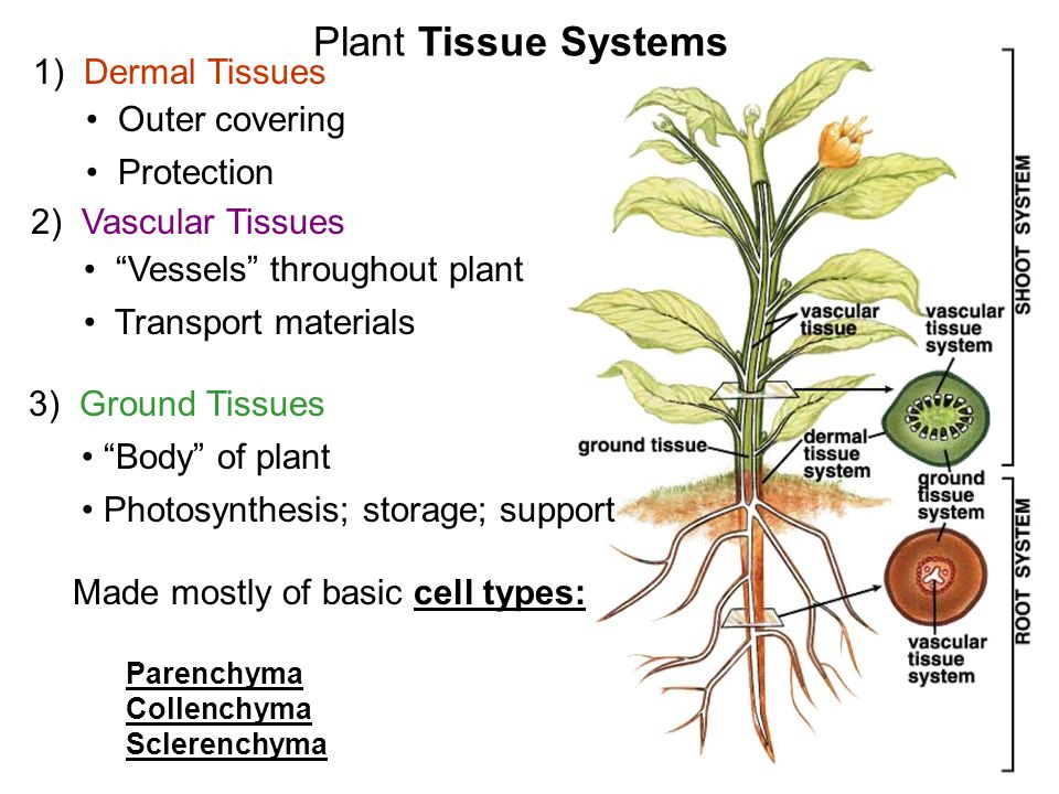 vascular tissue in plants consists of What is the difference between vascular and non-vascular plants vascular plants reproduce via seeds non-vascular plants reproduce via spores vascular.