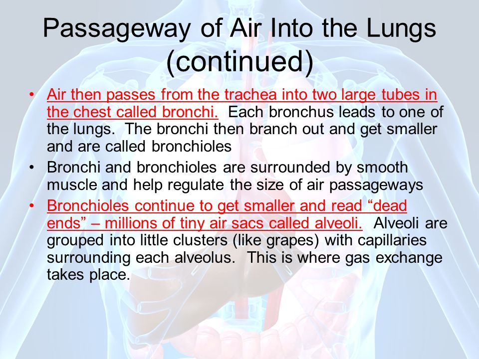 Passageway of Air Into the Lungs (continued)