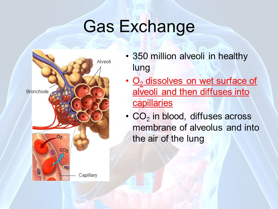 Gas Exchange 350 million alveoli in healthy lung