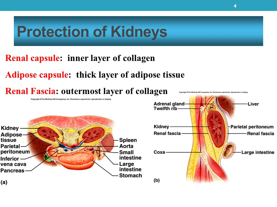 Renal Capsule Chapter 26 Urinary Sys...