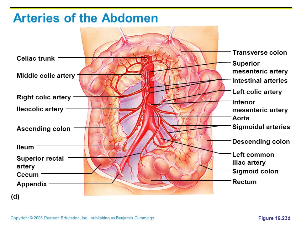 the cardiovascular system: blood vessels - ppt video online download, Cephalic Vein