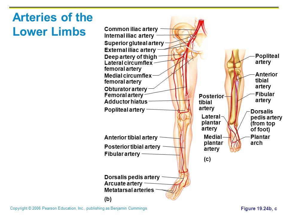 Arteries of the Lower Limbs