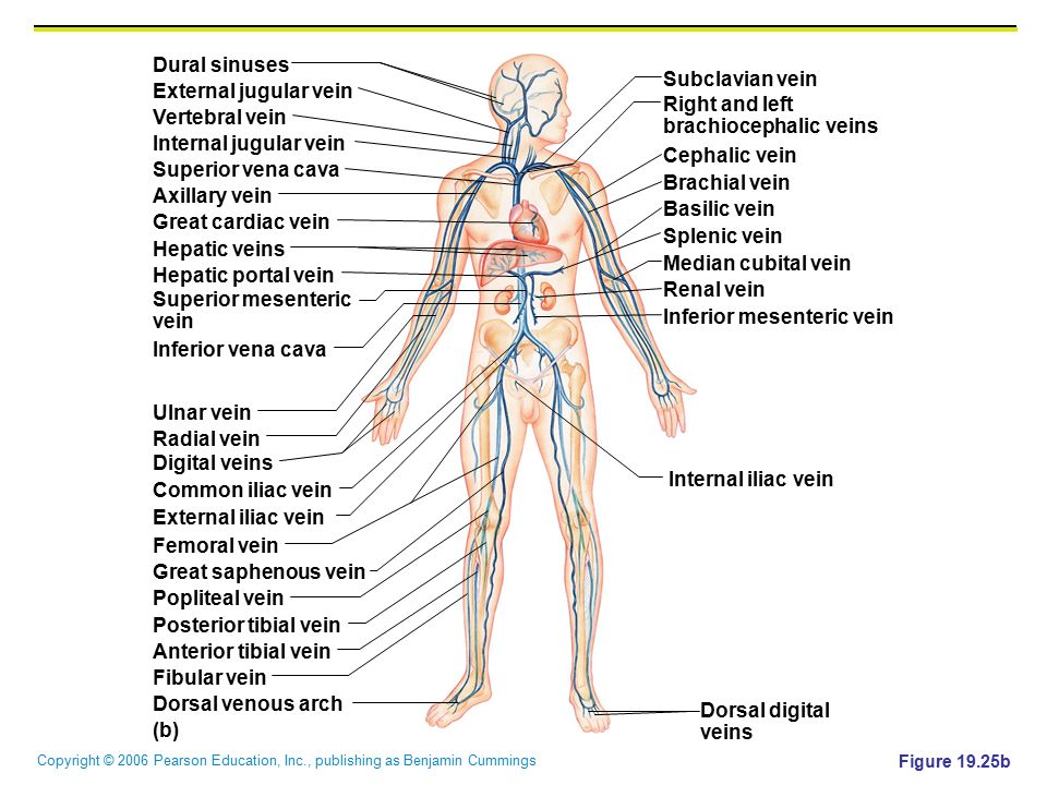 brachiocephalic veins Vertebral vein Internal jugular vein