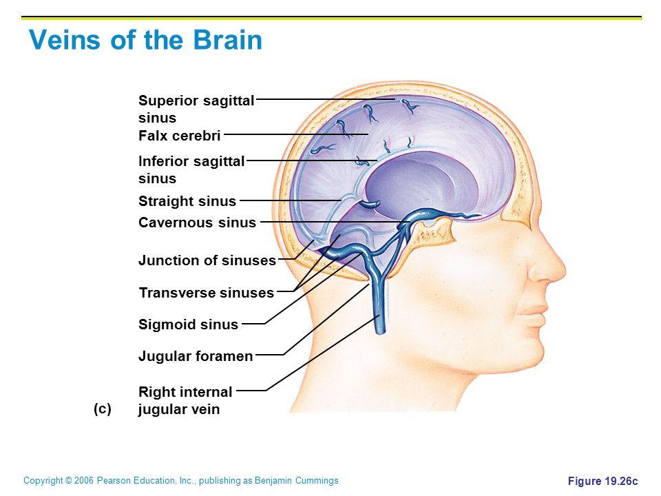 Veins of the Brain Superior sagittal sinus Falx cerebri