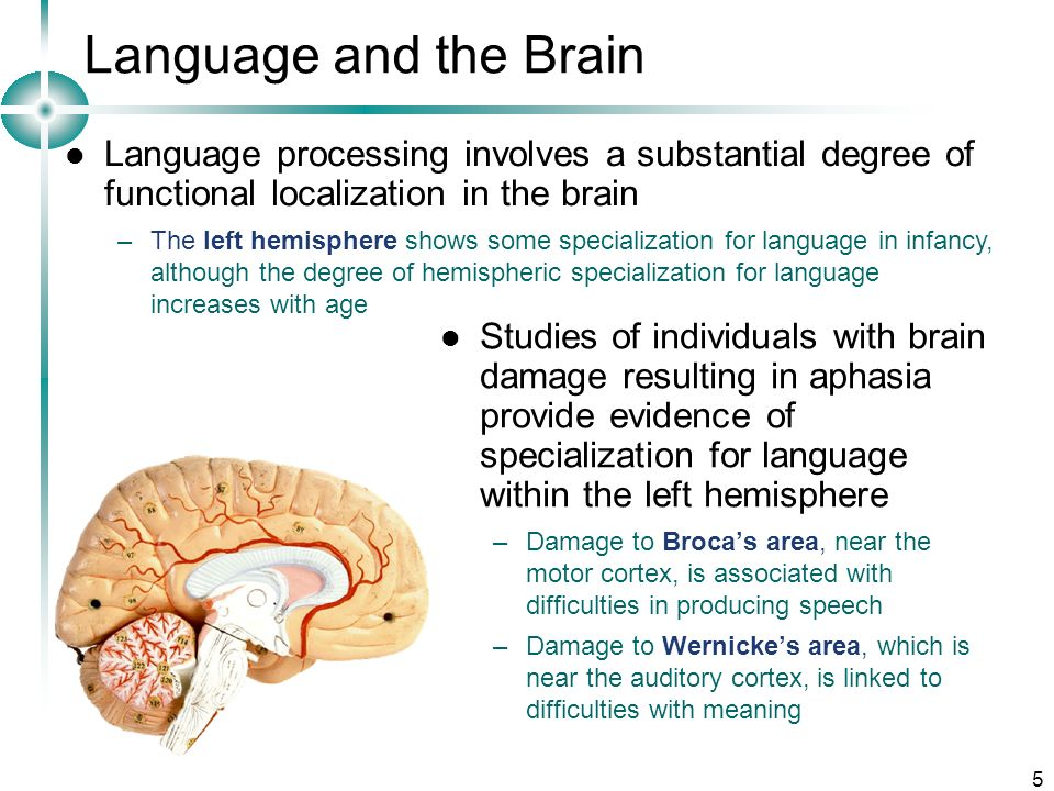 Language and the Brain Language processing involves a substantial degree of functional localization in the brain.