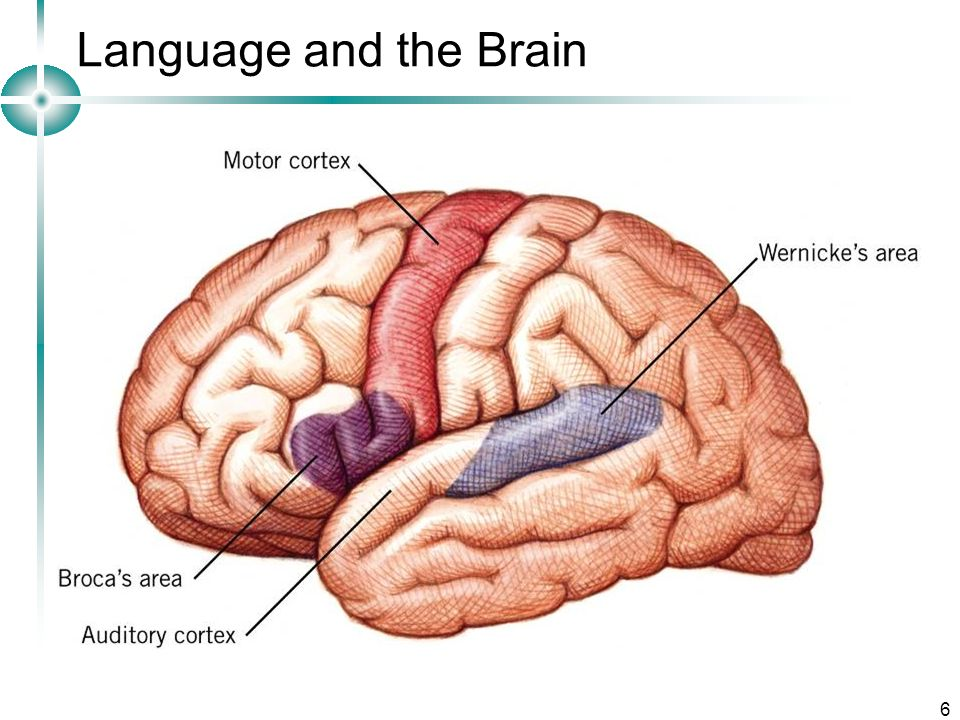 Language and the Brain Developmental Psychology Lecture 2