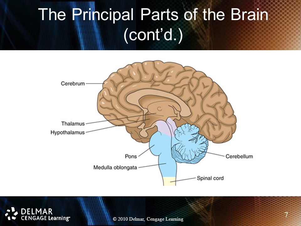 Chapter 11 The Nervous System Ppt Download