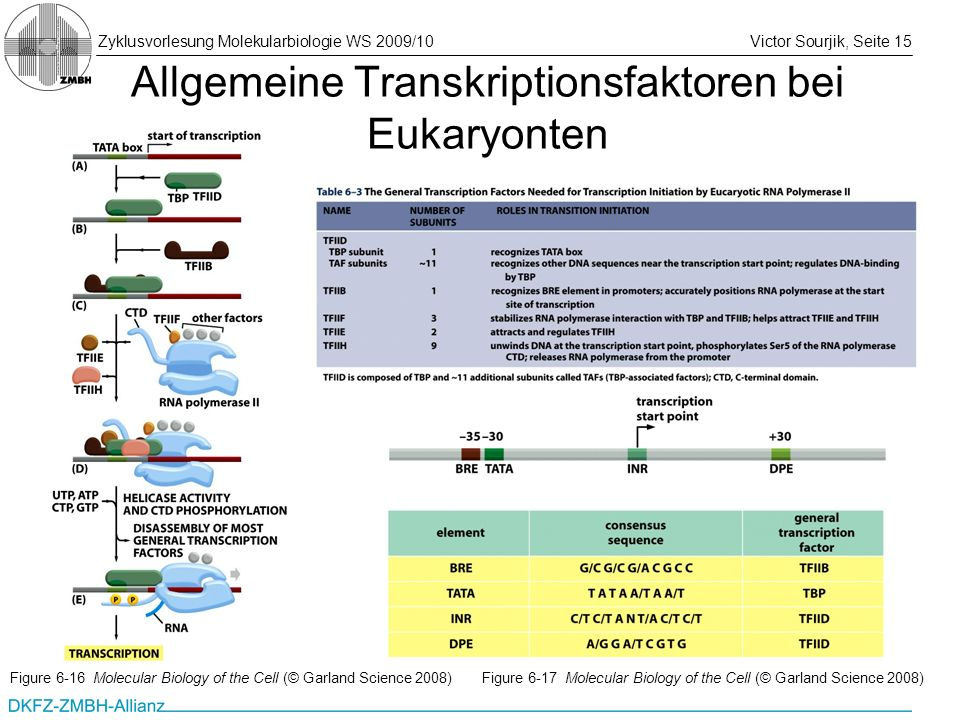 Allgemeine Transkriptionsfaktoren bei Eukaryonten