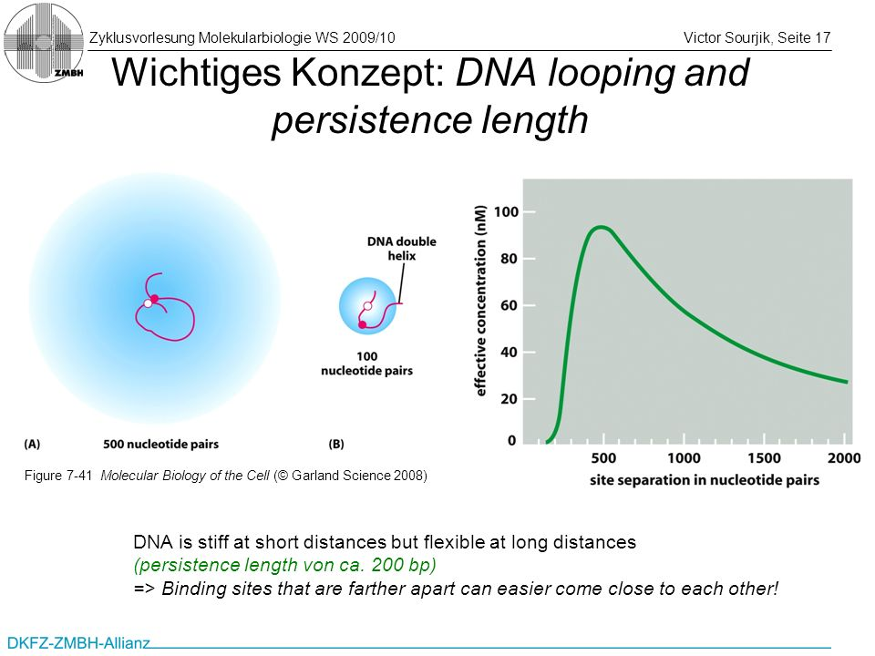 Wichtiges Konzept: DNA looping and persistence length