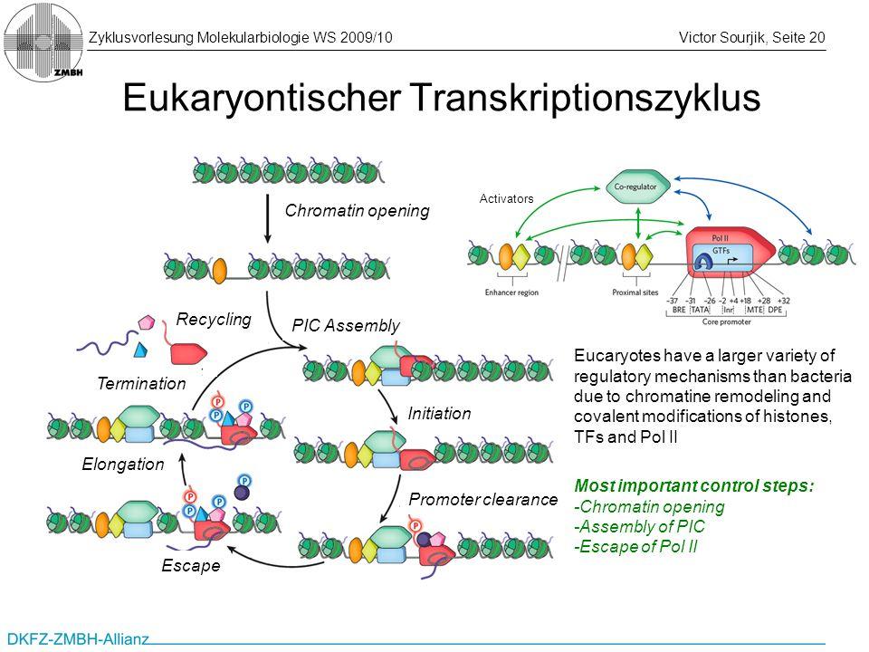 Eukaryontischer Transkriptionszyklus