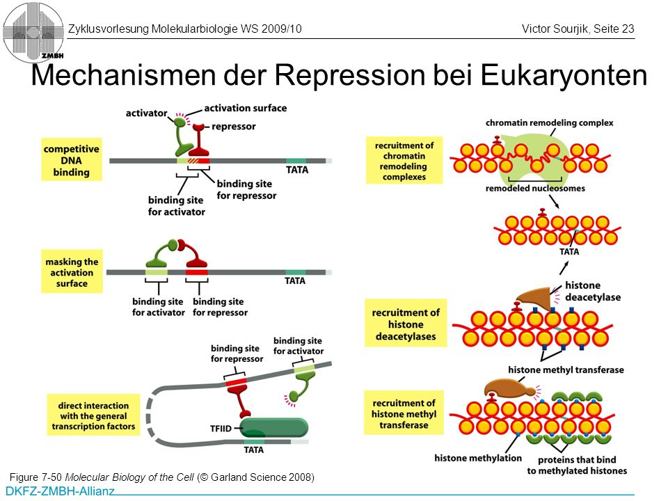 Mechanismen der Repression bei Eukaryonten